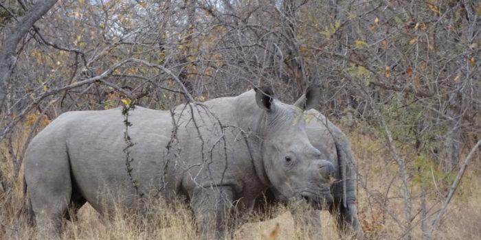 Blog Saskia Rhino