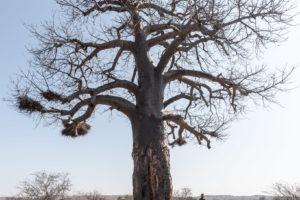 Chris Collin Baobab