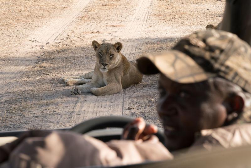 safari with gesa and frank lion sighting