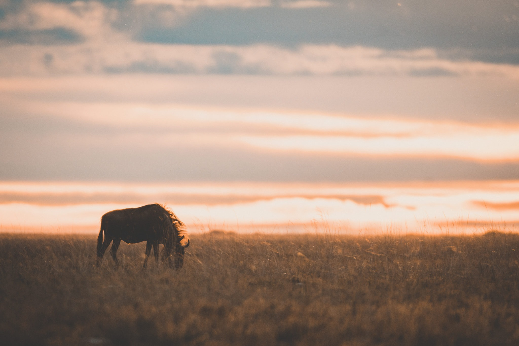 Zambia-Wildebeest-sunset