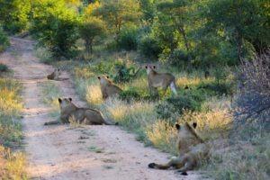 Kruger-Lion-South-Africa