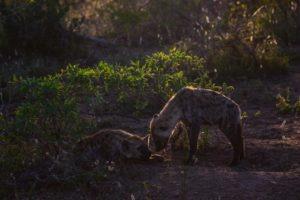 Kruger-Hyena-South-Africa