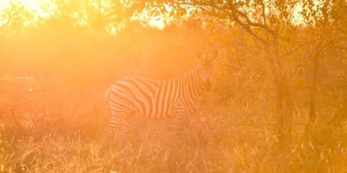 Zebra-Kruger-Sunset