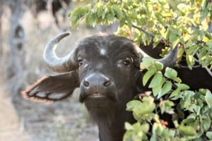 Greater kruger national park big five buffalo safari