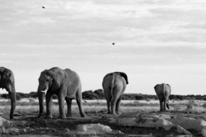 Makgadikgadi Pans Nxai Pans Big Five elephants