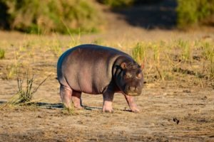 Northen Botswana Chobe Baby Hippo