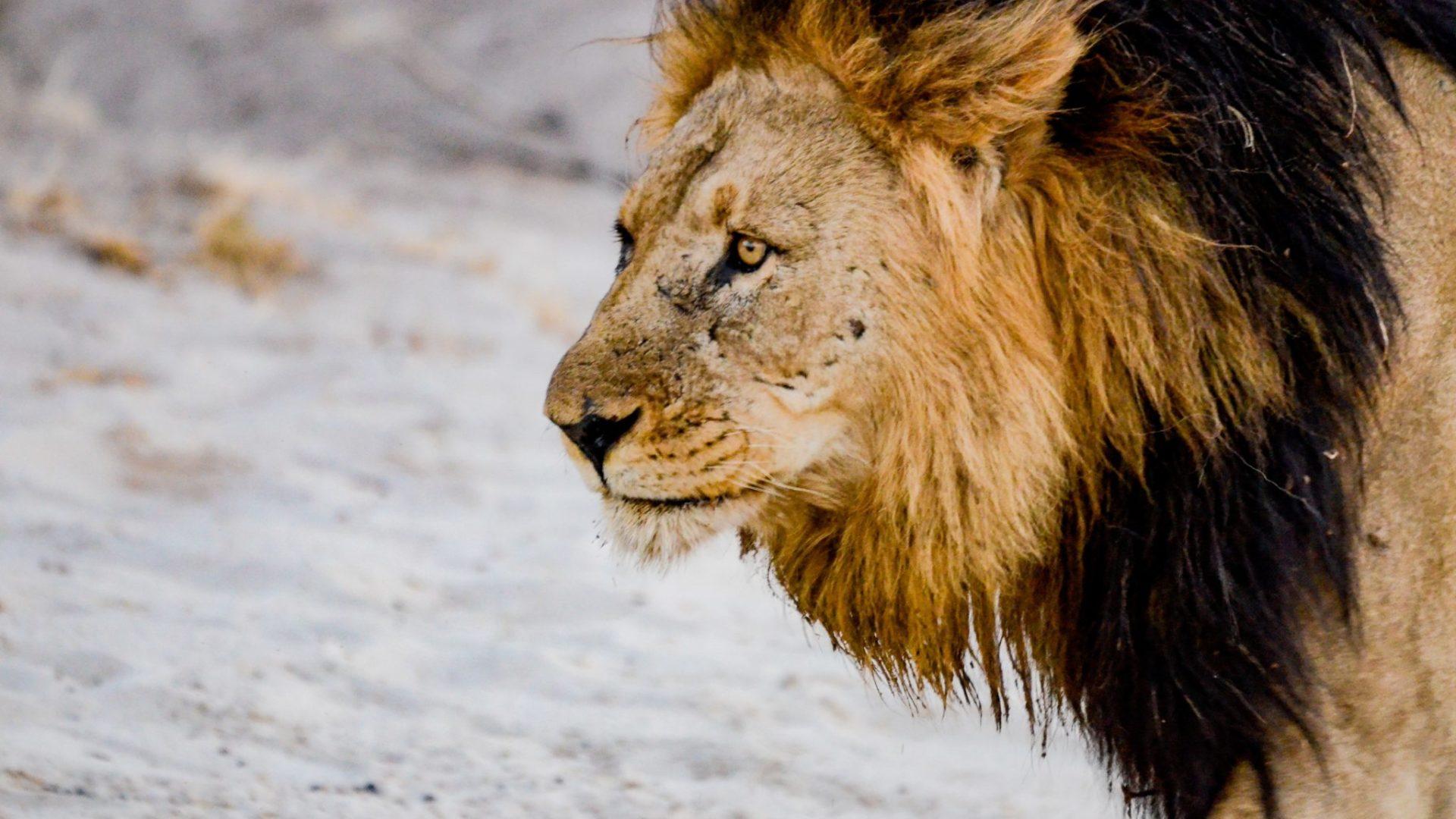 Northern Botswana Chobe Big Five Lion