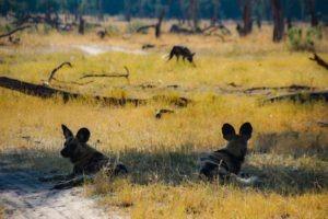 Northern Botswana Khwai Wilddogs