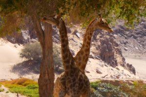 Northern Namibia Damaraland Giraffe safari
