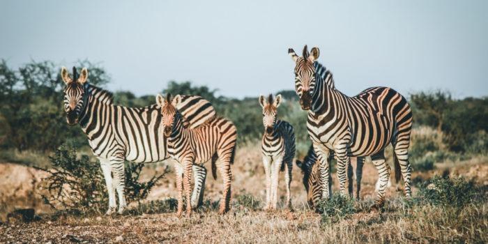 South Africa Karongwe Zebras