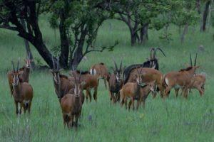 Zambia kasanka sable safari