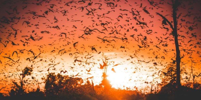 bats kasanka zambia migration