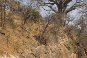 camp chitake mana pools baobab