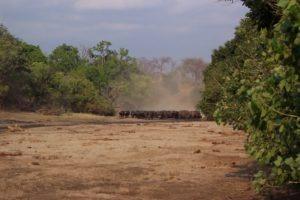 camp chitake mana pools buffalo