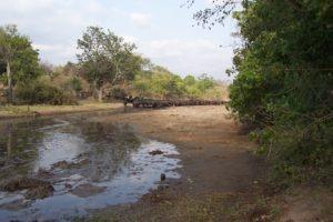 camp chitake mana pools buffaloes