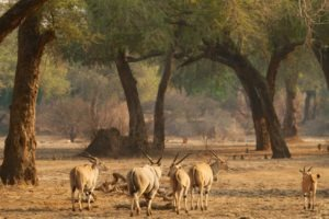 camp zambezi mana pools eland