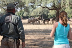 camp zambezi mana pools walking elephants