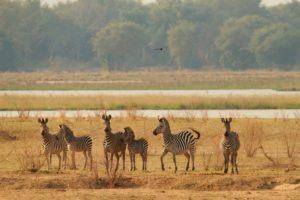camp zambezi mana pools zebra