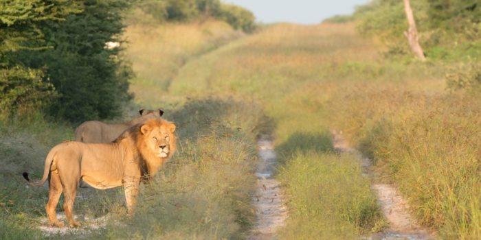 dinaka male lion road