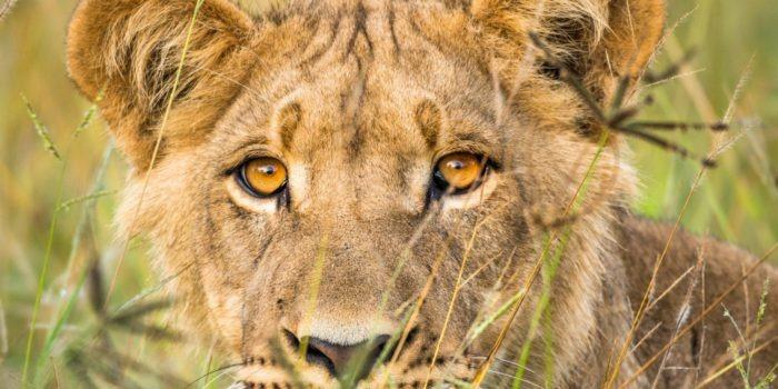 dinaka young lion portrait