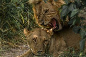 khwai lions mating