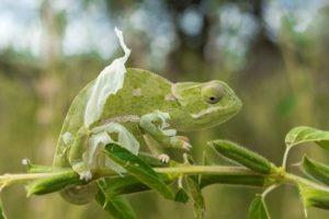 kruger south africa chameleon