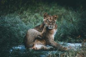 kruger south africa lion