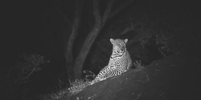 leopard night timbavati