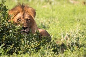 lion january timbavati