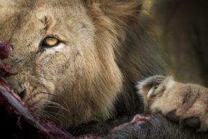 lion stare klaserie