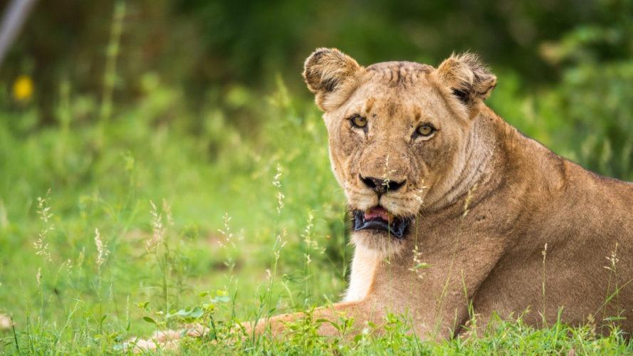 lion timbavati female