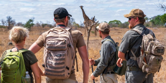 lowveld trails timbavati giraffe guests walking