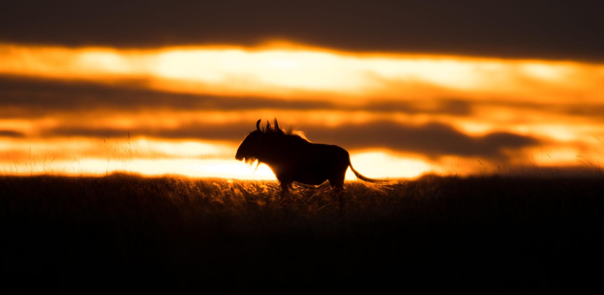 luiwa wildebeest sunset
