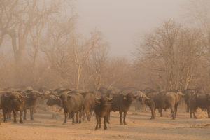 nkozi camp south luangwa buffalo