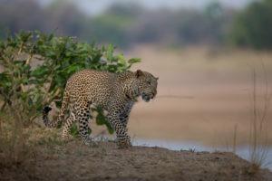 nkozi camp south luangwa leopard