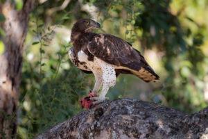 nkozi camp south luangwa martial eagle