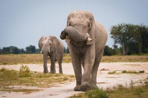 nxai pan elephant bulls