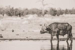 savuti buffalo bull