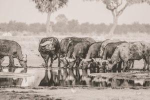 savuti buffaloes drinking