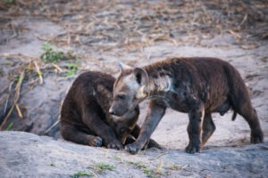 savuti hyena cubs