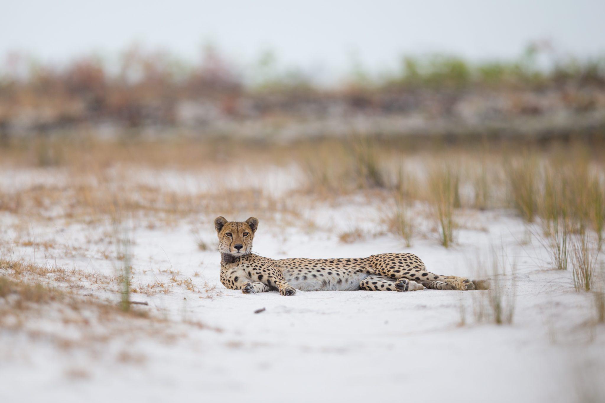 west zambia liuwa plains wildlife photography cheetah in road