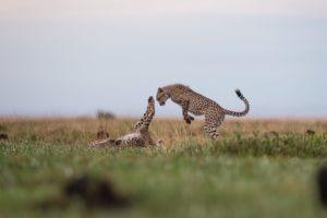west zambia liuwa plains wildlife photography cheetah playing