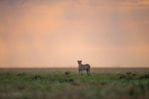 west zambia liuwa plains wildlife photography cheetah safari