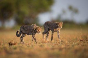 west zambia liuwa plains wildlife photography cheetahs