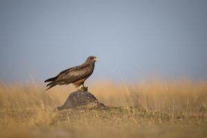 west zambia liuwa plains wildlife photography eagle birding safari