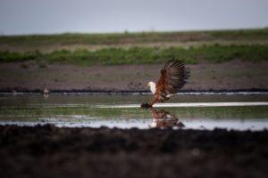 west zambia liuwa plains wildlife photography fish eagle birding safari