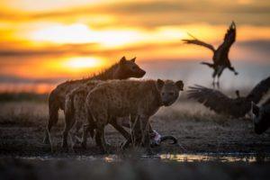 west zambia liuwa plains wildlife photography hyena