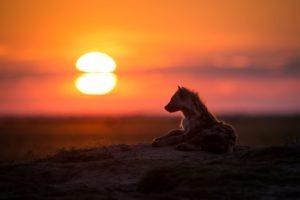 west zambia liuwa plains wildlife photography hyena amazing sunset