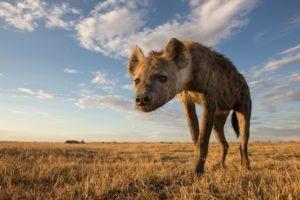 west zambia liuwa plains wildlife photography hyena close
