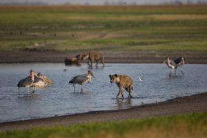 west zambia liuwa plains wildlife photography hyena safari